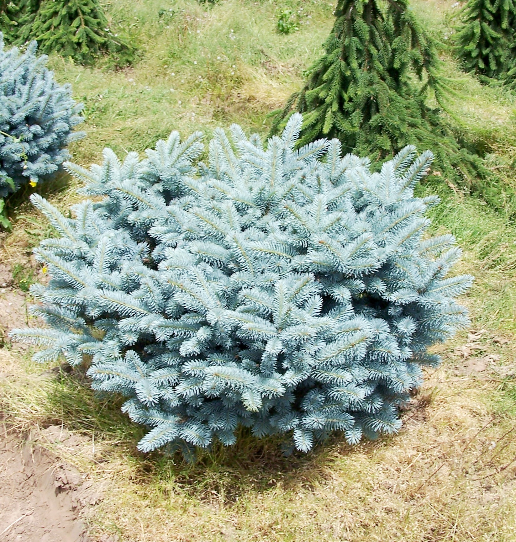 Picea Pungens Globosa Vancouver Island Grows
